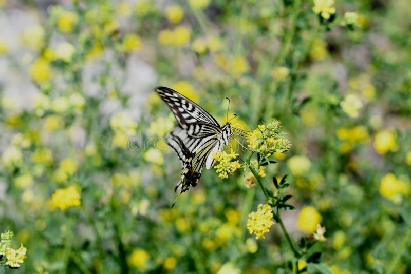 Swallowtail fj?ril i flykten fotografering för bildbyråer