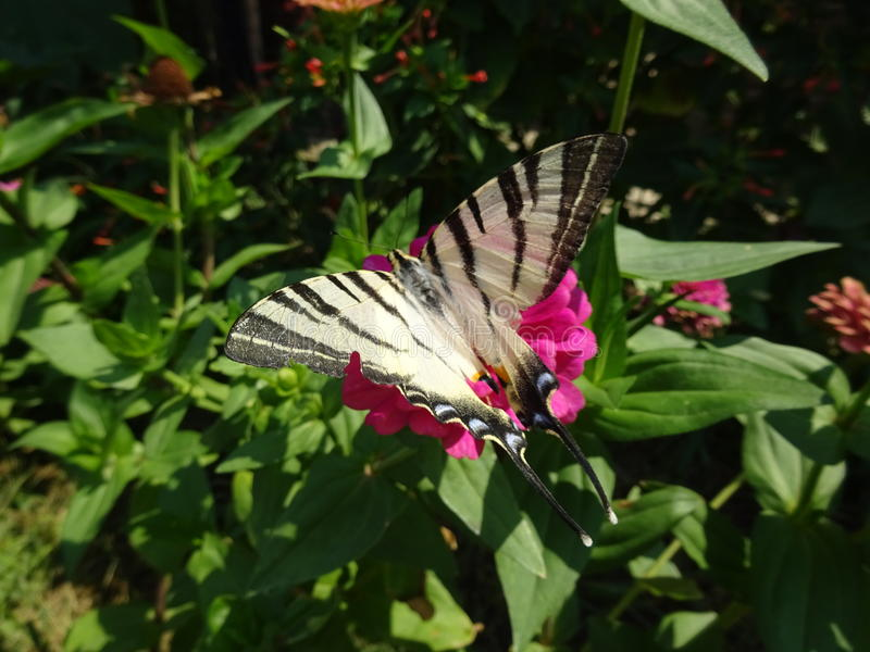 Swallowtail on a flower stock photography