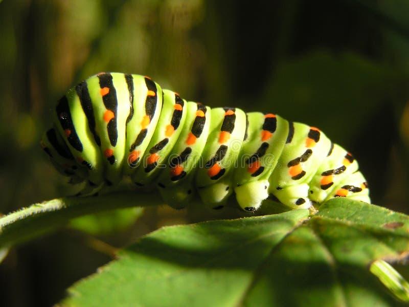 Swallowtail Gąsienica fotografia stock