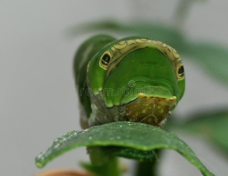 Swallowtail Gąsienica obraz royalty free