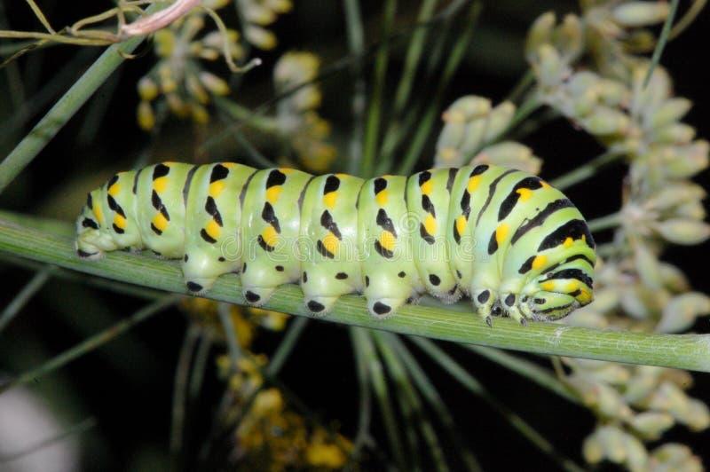 Swallowtail Gąsienica zdjęcie royalty free