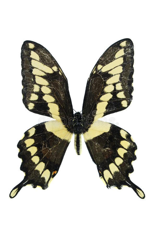 Swallowtail gigante immagine stock libera da diritti