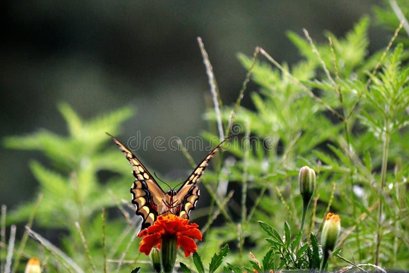 Swallowtail huvud på royaltyfria foton