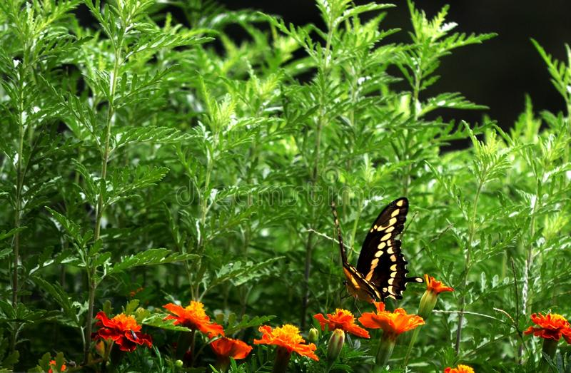 Swallowtail IIII stock photo