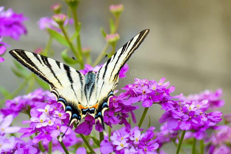Swallowtail kwiaty i motyl zdjęcia royalty free