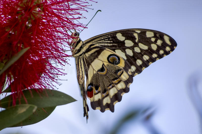 Swallowtail landning arkivbilder