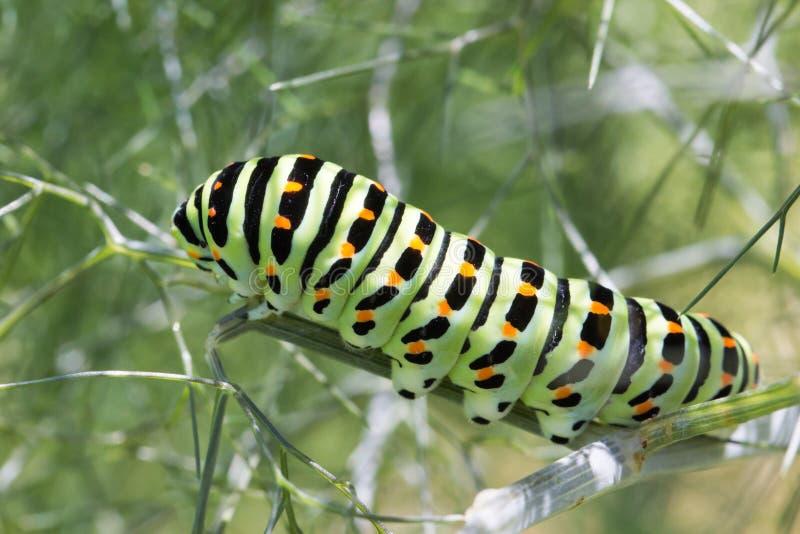 Swallowtail larv på fänkål royaltyfria foton