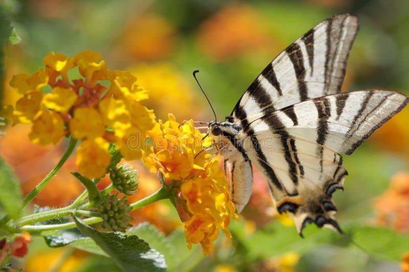 Swallowtail limitato fotografie stock