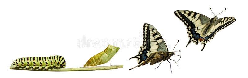 Swallowtail metamorphosis. Swallowtail (Papilio machaon) metamorphosis. Showing 3 instars stock photo