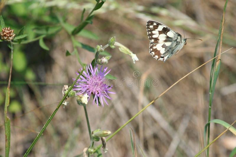 Swallowtail mitt- flyg royaltyfria bilder