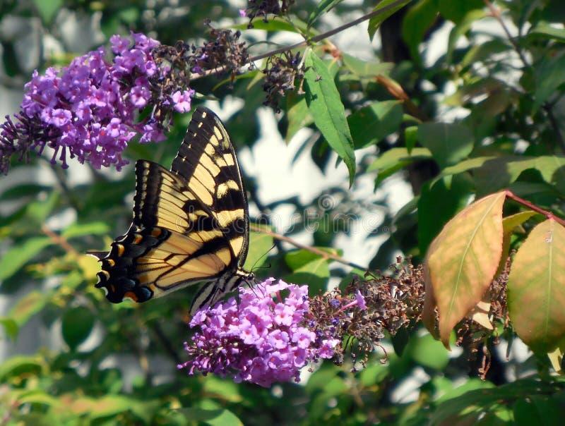 Swallowtail motyl na purpurowym motylim krzaku obraz stock