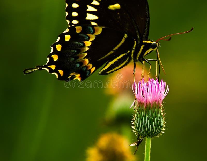 swallowtail motyla zdjęcie stock