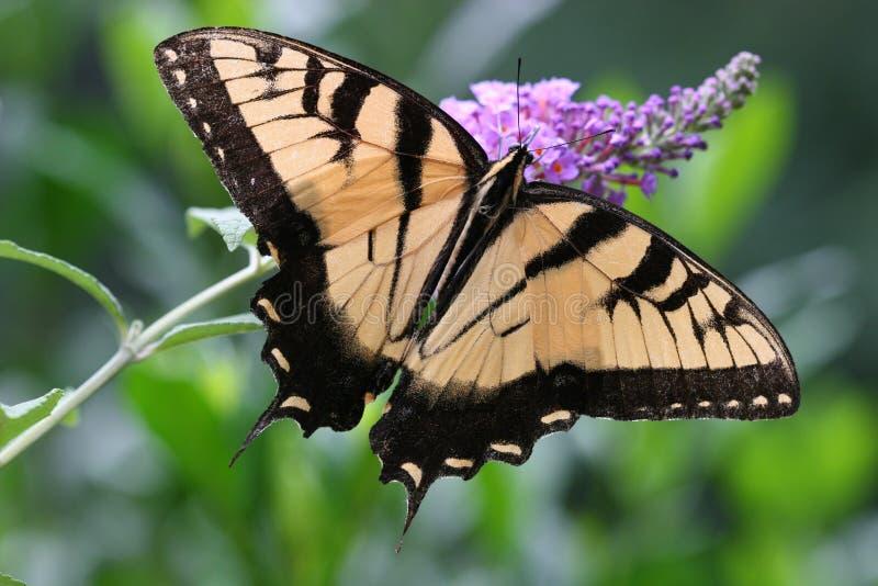 swallowtail motyla obrazy stock