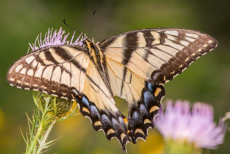 Swallowtail motyli karmienie na purpurowym wildflower w Minnestoa Dolinnym Krajowym rezerwat dzikiej przyrody blisko Minnestoa rz zdjęcie royalty free