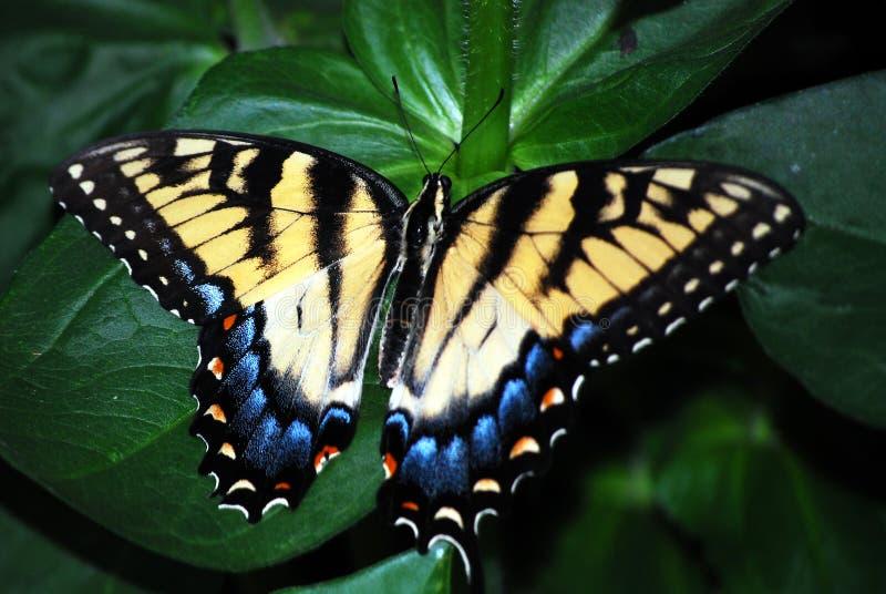 swallowtail motyli kolor żółty fotografia royalty free