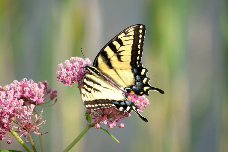 swallowtail motyli wschodni żeński tygrys obraz stock