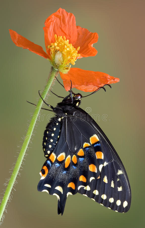 Swallowtail noir s'attachant au pavot images libres de droits