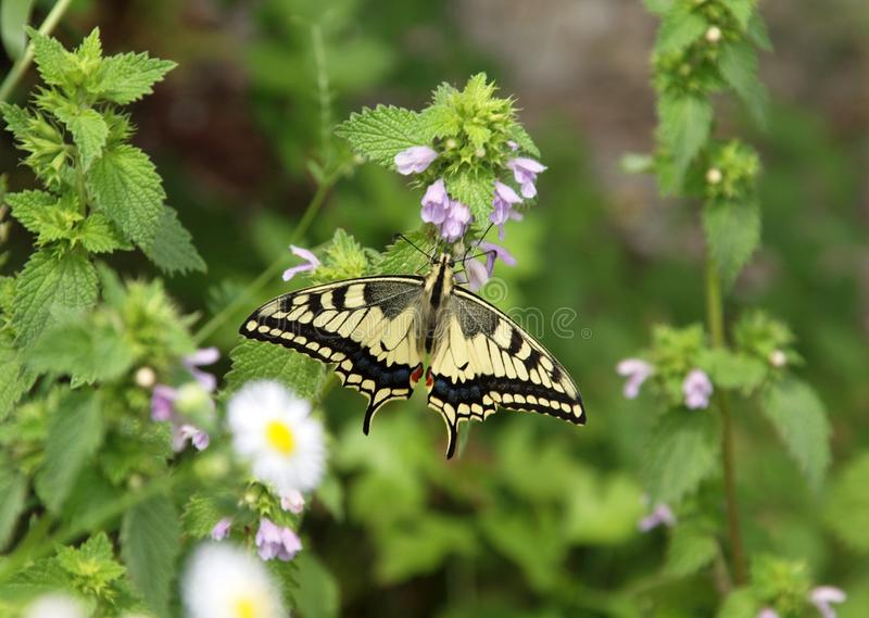 Swallowtail op Mentha-pulegium stock afbeelding