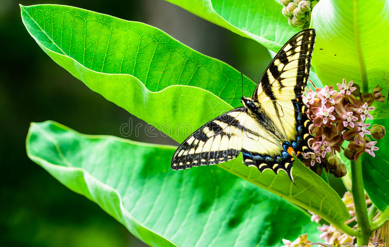 Swallowtail på Milkweed arkivbilder