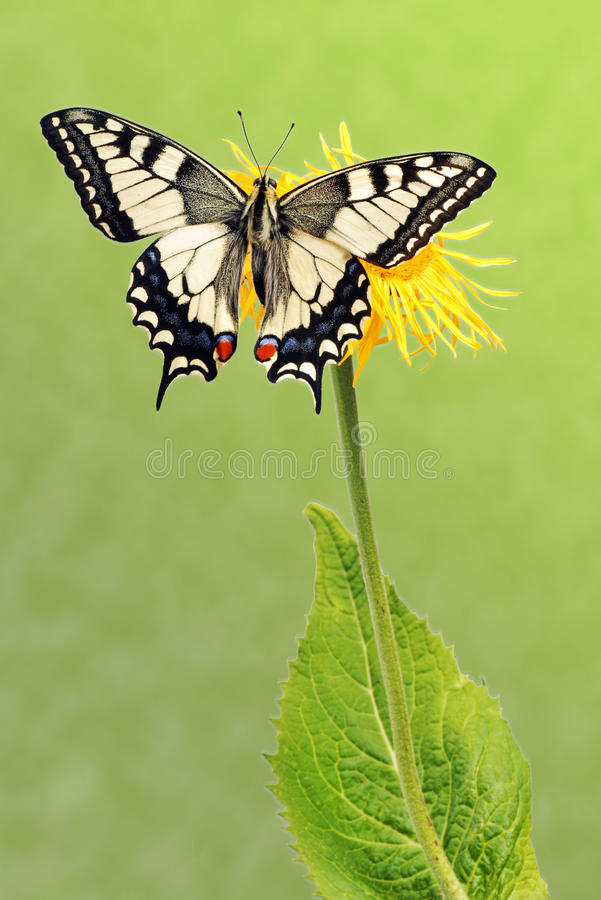 Swallowtail (Papilio machaon). Sitting on a flower royalty free stock image