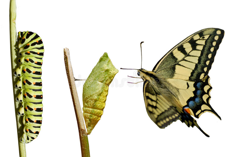 Swallowtail (Papilio Machaon) image libre de droits