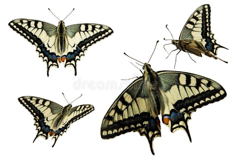 Swallowtail (Papilio Machaon) illustrazione vettoriale