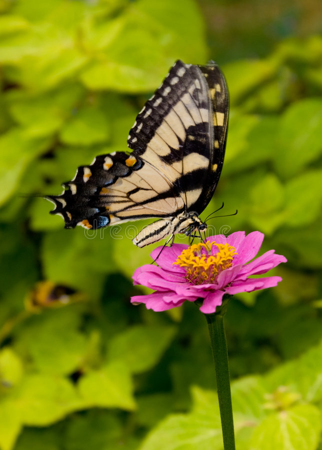Swallowtail (Papilio Machaon). Butterfly feeding on a zinnia flower, Butterfly Lightbox royalty free stock images