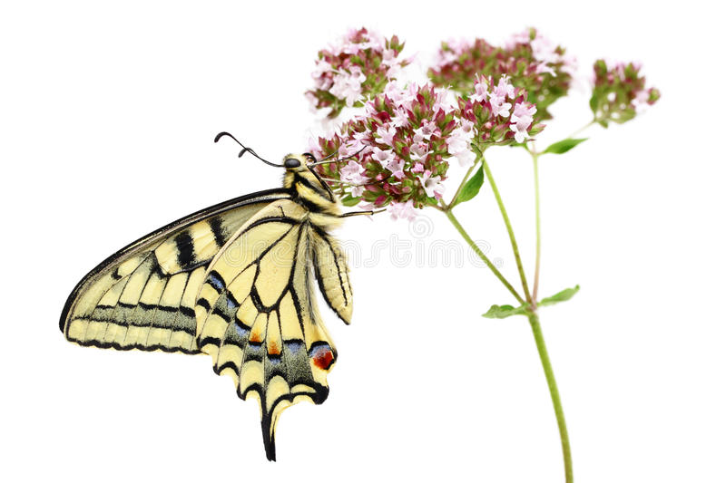 Swallowtail (Papilio machaon) butterfly. Isolated on white background royalty free stock image