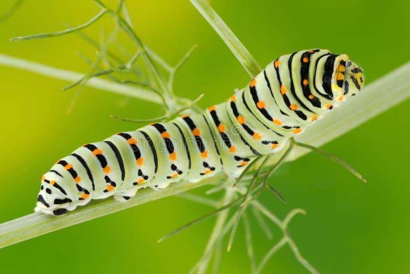 Swallowtail (Papilio Machaon) Gąsienicowa makro- fotografia zdjęcie royalty free