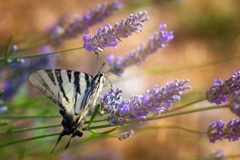 Swallowtail & x28; Papilio machaon& x29; på en lavendel royaltyfri foto