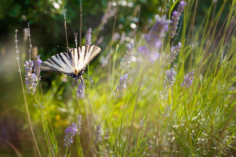 Swallowtail & x28; Papilio machaon& x29; på en lavendel royaltyfria bilder