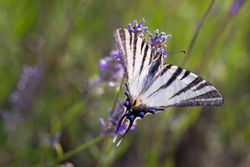 Swallowtail & x28; Papilio machaon& x29; på en lavendel arkivfoto