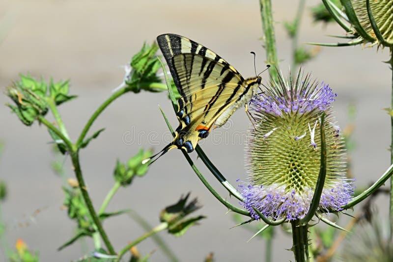 Swallowtail Papilio Machaon som för gammal värld för fjäril matar sig på den spetsiga blomman arkivbilder