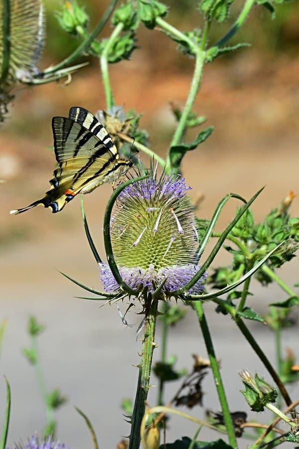Swallowtail Papilio Machaon som för gammal värld för fjäril matar sig på den spetsiga blomman royaltyfria bilder