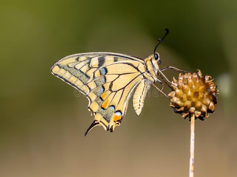 Swallowtail (Papilio machaon) som vilar på Alliumväxten i Moren royaltyfri foto