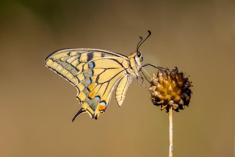 Swallowtail (Papilio machaon) som vilar på Alliumväxten i Moren fotografering för bildbyråer