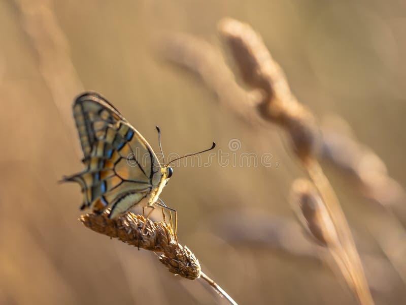 Swallowtail (Papilio-machaon) stillstehend auf Gras-Ohr im Mornin lizenzfreie stockfotos