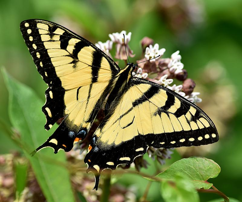 Swallowtail popołudnie obraz stock
