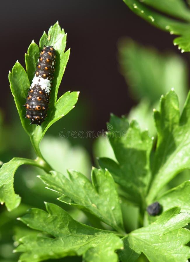 Swallowtail preto Caterpillar - larva da borboleta, igualmente chamada um sem-fim da salsa imagens de stock