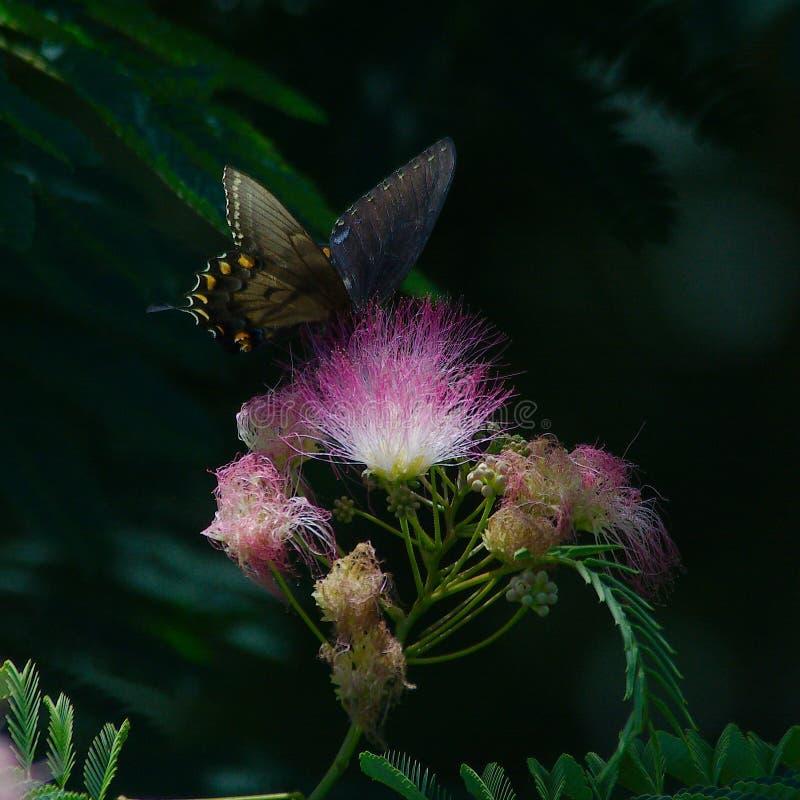 Swallowtail preto na árvore da mimosa imagem de stock