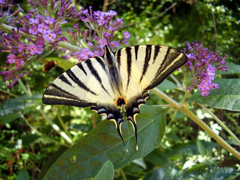 Swallowtail rare photos stock