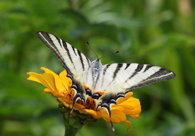 Swallowtail rzadki motyl zdjęcie royalty free