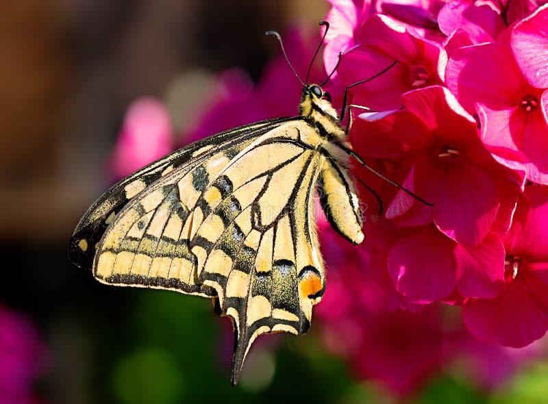 Swallowtail-Schmetterling auf der roten Blume Flammenblume stockbilder