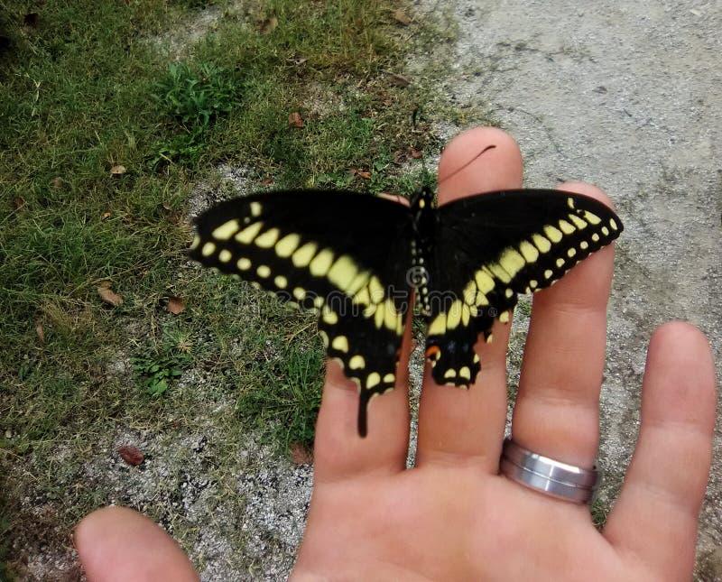Swallowtail-Schmetterling auf einer Hand mit Hochzeitsband stockfotografie