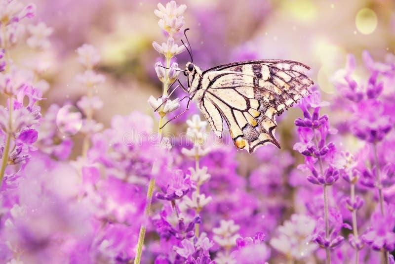 Swallowtail-Schmetterling der Alten Welt - Papilio-machaon, schöner farbiger ikonenhafter Schmetterling von den europäischen Wies lizenzfreie stockfotos
