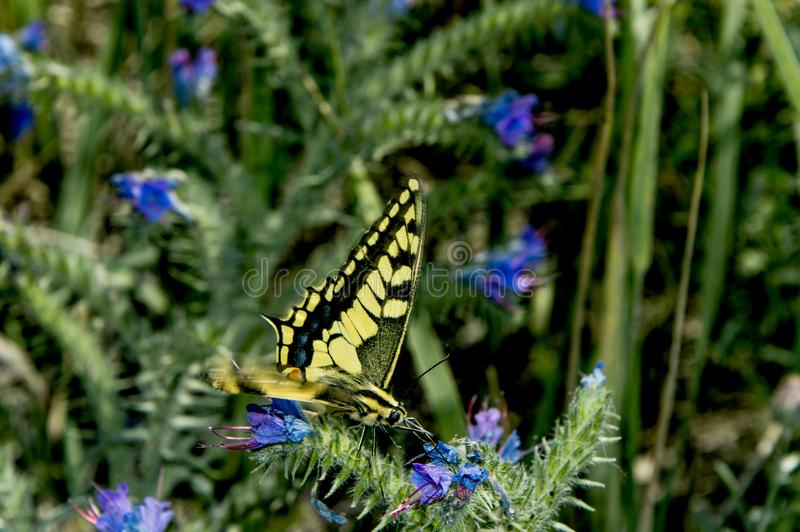 Swallowtail-Schmetterling, der auf blauen Blumen sitzt stockfotos