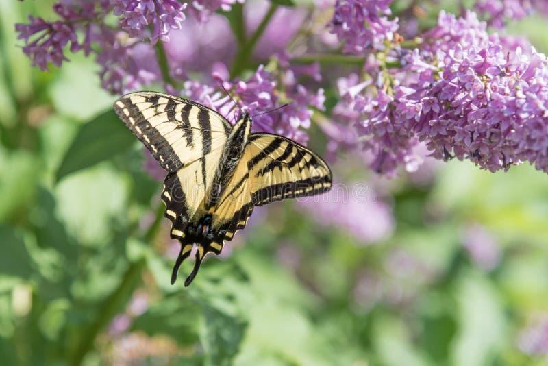 Swallowtail-Schmetterling mit Flügeln öffnen das Stillstehen auf purpurroten lila Blumen im Frühsommer lizenzfreies stockfoto