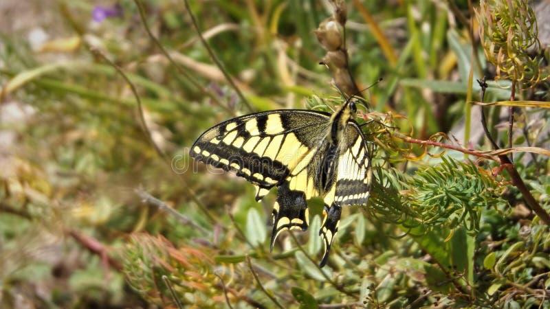 Swallowtail Schwalbenschwanz, Papilio machaon royaltyfria foton
