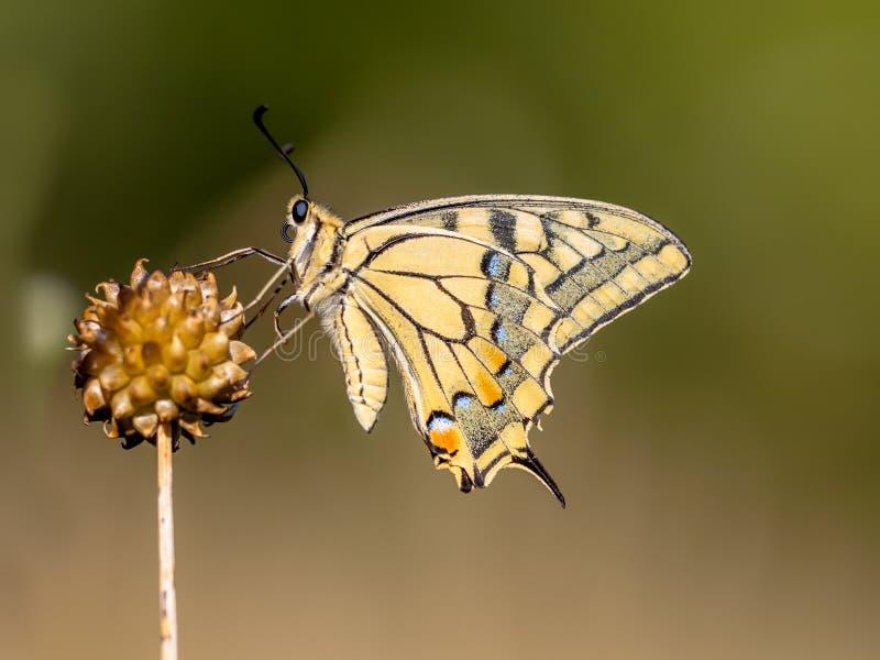 Swallowtail som vilar i morgonljuset royaltyfri foto