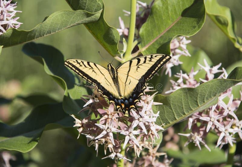 Swallowtail svart och gul tigerfjäril på att blomma blommabusken för prålig milkweed royaltyfria foton
